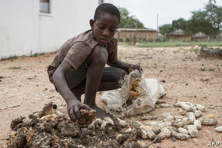 13-year-old Prince Mpofu packs last year's harvest from the irrigated gardens for storage on Feb. 7, 2015 in the village of Nsezi in Matabeleland, southwestern Zimbabwe.