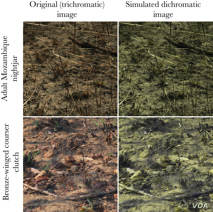 A side-by-side comparison of the same images, seen as a trichromat (left) and a dichromat (right).