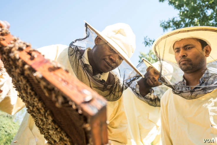 Abdul Adan shows Elele Okbe and Kobir Hossin how to tend to beehives in Alessandria, Italy, Aug.  22, 2017.