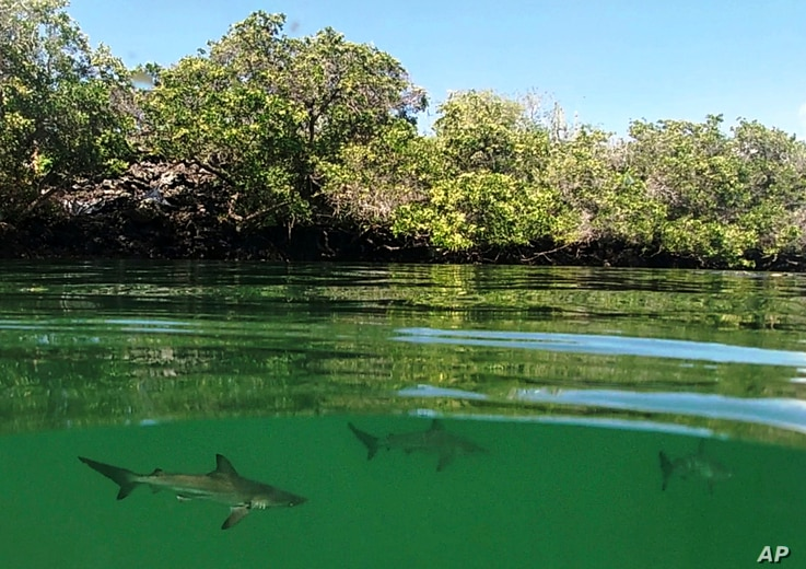 A hammerhead shark nursery, recently discovered in Santa Cruz, Galapagos Islands, Ecuador, is seen in this Feb. 25, 2019 handout photo provided by the Galapagos National Park.