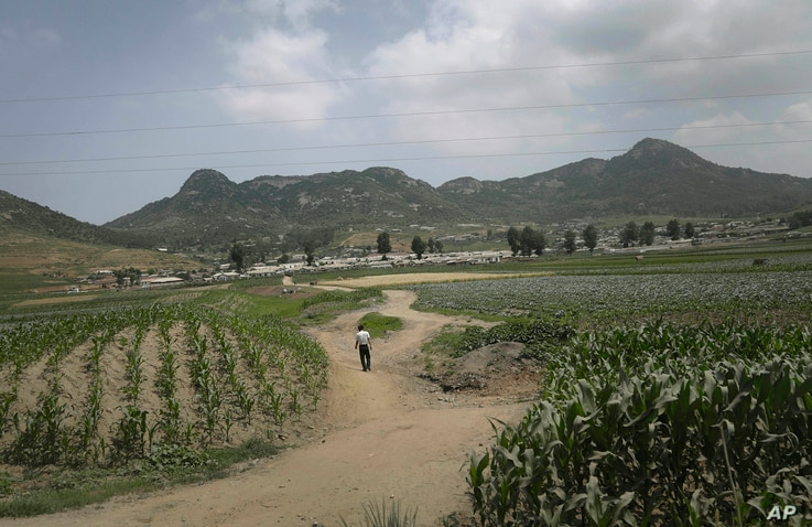 """FILE - A man walks on a dirt path between cornfields in Nampho, North Korea, in June 2015, when the country was enduring what state media called """"the worst drought in 100 years."""""""