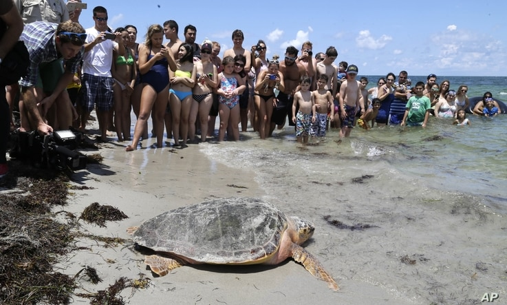 FILE - In this June 8, 2015, photo, a loggerhead sea turtle heads to the ocean, as onlookers watch at Bill Baggs Cape Florida State Park in Key Biscayne, Florida.
