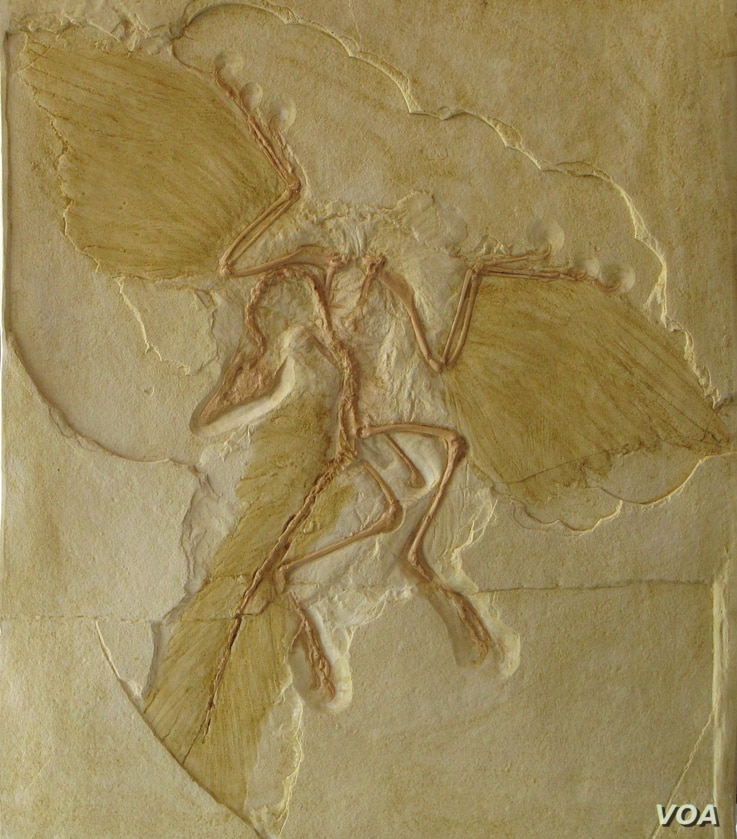 The lightweight Archaeopteryx is considered the first bird. Its shrinking size might have been key to the evolutionary success of birds. (Credit: Roger Benson)