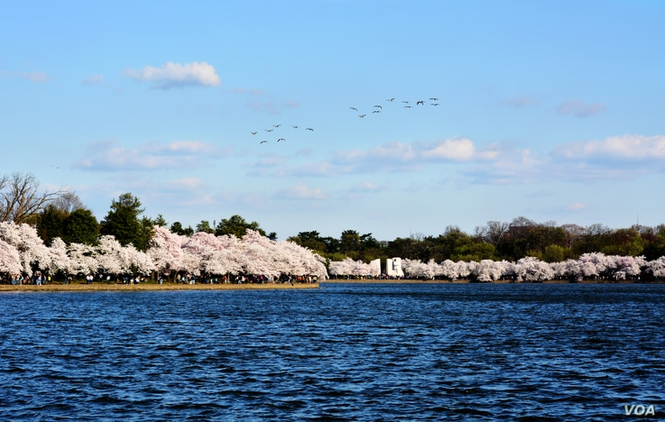 Nearly 1,700 cherry trees line the U.S. capital's Tidal Basin, a scenic spot near many national monuments, and burst into color each spring in a display of floral fireworks. It is a favorite site for tourists. (Photo: Diaa Bekheet)