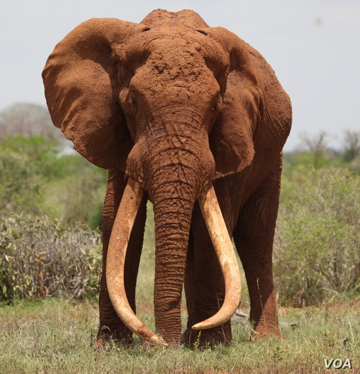 Satao, one of the largest elephants in Africa, was killed by poachers for his ivory tusks on May 30, 2014.