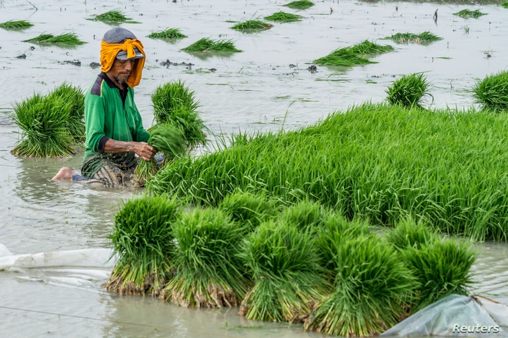 A farmer plants rice seeds at a rice field in Demak, Indonesia, Oct. 23, 2018. Picture taken October 23, 2018. Indonesia grows rice, but it also imports it.