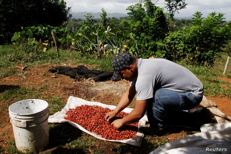 FILE - A worker sorts recently harvested robusta coffee beans at Finca El Alto in Gaspirilla, Capira District, Panama, Dec. 28, 2017.