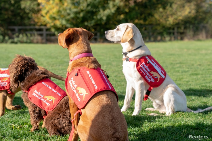 Dogs from charity Medical Detection Dogs, are seen in Milton Keynes, Britain, Oct. 22, 2018. The organization sees a future where malaria sniffing dogs greet travelers at ports of entry, helping medical personnel sniff out infected travelers.