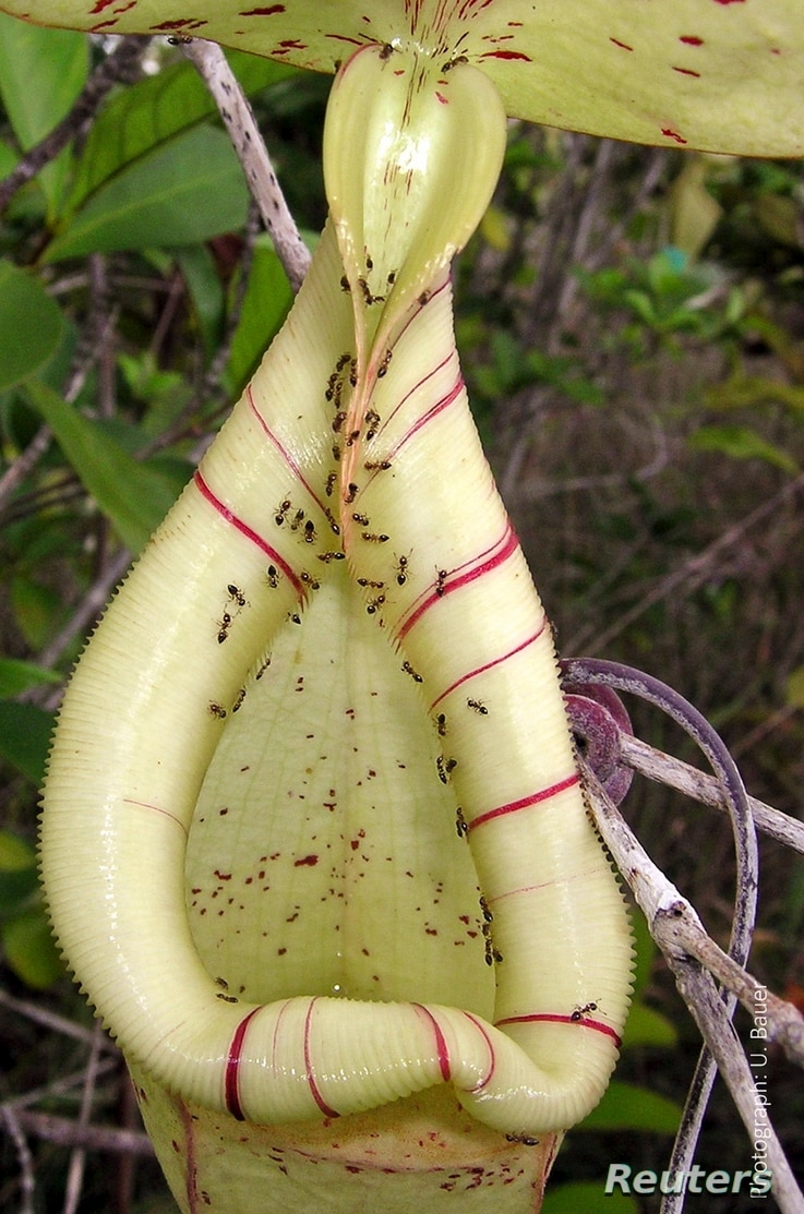The trap of an insect-eating Nepenthes pitcher plant, swarming with nectar-collecting ants, is seen in this undated handout picture courtesy of Dr. Ulrike Bauer, University of Bristol, United Kingdom.
