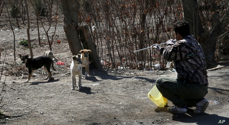 A Tehran urban animal control worker shoots dog with anesthetic dart from a blowpipe on the outskirts of the capital Tehran, Iran, March 5, 2017.