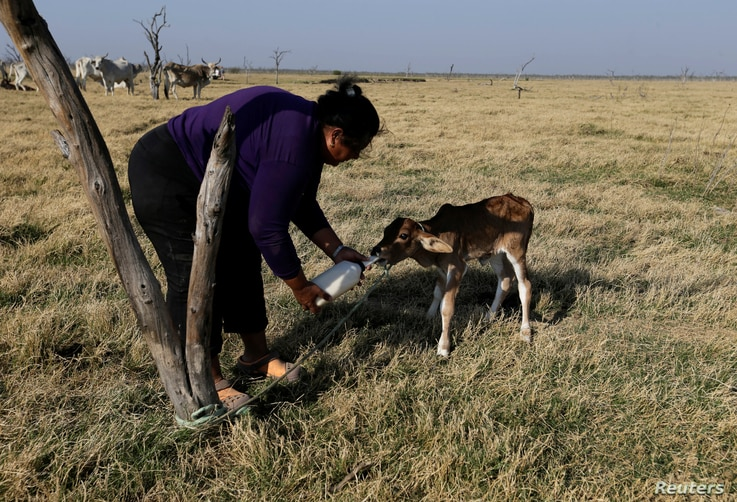 A woman bottle-feeds a calf whose mother had died, at the Agropil ranch in Boqueron, Paraguay, Aug. 14, 2016.