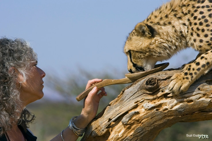 Dr. Laurie Marker orphan cheetah cubs rescued from a trap on a livestock farm giving cheetah treat from spoon. (Suzi Eszterhas)