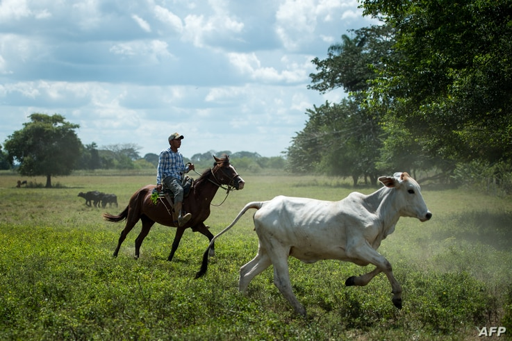 A man works at a ranch in San Silvestre, Barinas State, Venezuela, Nov. 28, 2018.