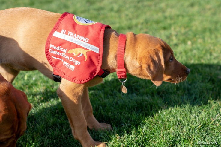 A dog from Medical Detection Dogs, is seen in Milton Keynes, Britain, Oct. 22, 2018. The charity sees the possibility that dogs could sniff out other infectious diseases.