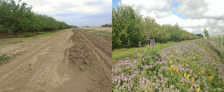 This before-and-after photo shows a barren strip on the edge of an almond orchard in Zamora, California, (left) in fall, 2013, and the same road six months later after wildflowers were planted  to attract bees and other pollinators.