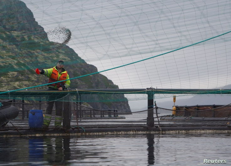 A worker feeds adult trout and salmon inside an open-sea fish farming cage, belonging to the company Russian Aquaculture, at the coastline of the Ura Bay, in the northwestern Murmansk region, Russia, Aug. 2, 2017.
