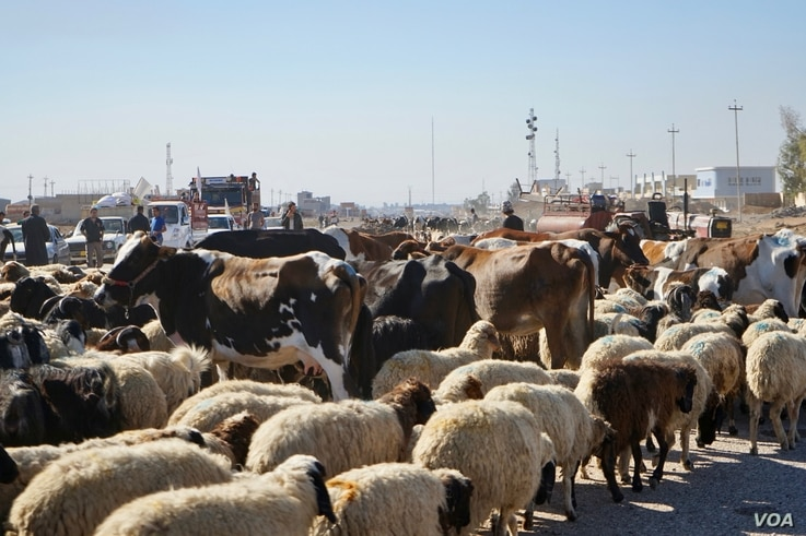 """Roads out of Mosul were clogged Thursday with sheep as families insisted on taking their livestock with them as they left the outer suburbs of Mosul,"""" Nov. 3, 2016. (Photo: Jamie Dettmer for VOA)"""