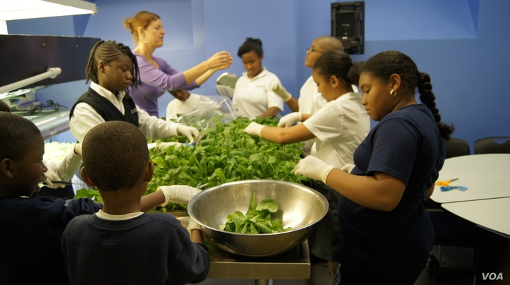 Catkin Flowers and her students harvest leafy greens from the school's AeroFarms indoor growing lab. (Credit: Frank Mentesana)