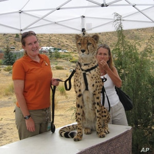 Tango, a five-year-old cheetah, can earn up to $8,000 a day for appearing in television commercials.
