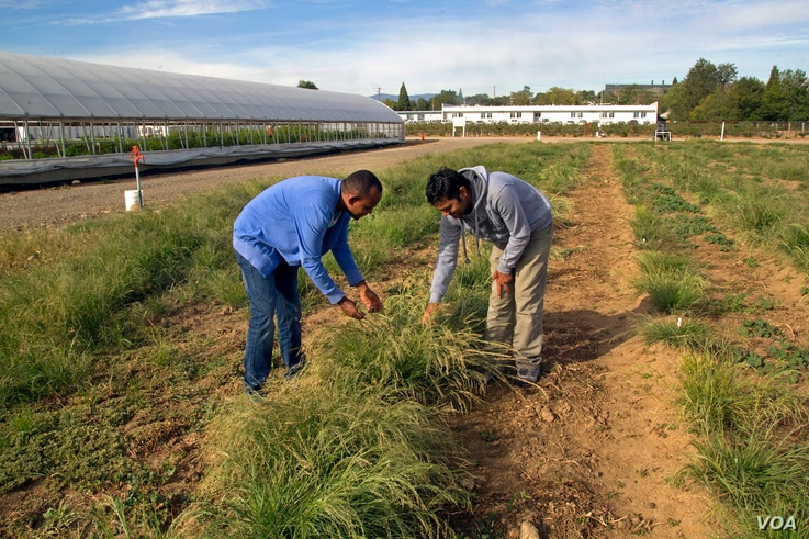 Graduate students examine teff grass at the Nevada Agriculture Experiment Station. The research team is also working on genetic and agronomic field crop and soil management approaches to make the stems less prone to breaking. (Credit: Whip Villarreal...