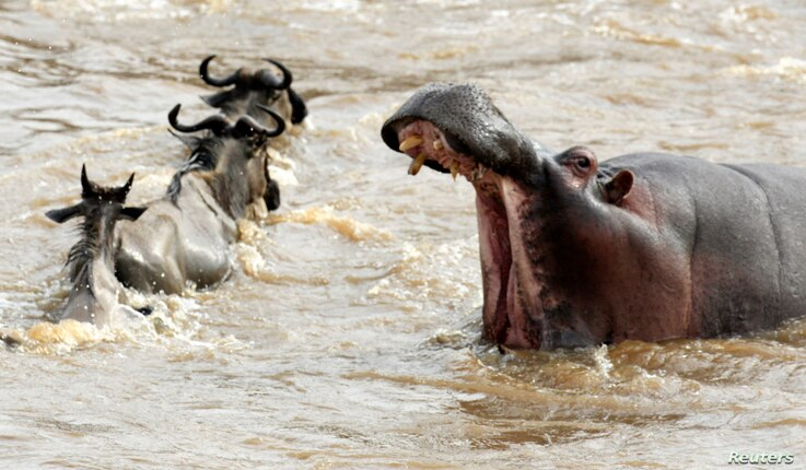 FILE - A hippopotamus opens its mouth as wildebeests (connochaetes taurinus) cross the Mara river during a migration in the Masaai Mara game reserve, 270 km (165 miles) southwest of capital Nairobi, Aug. 25, 2010.