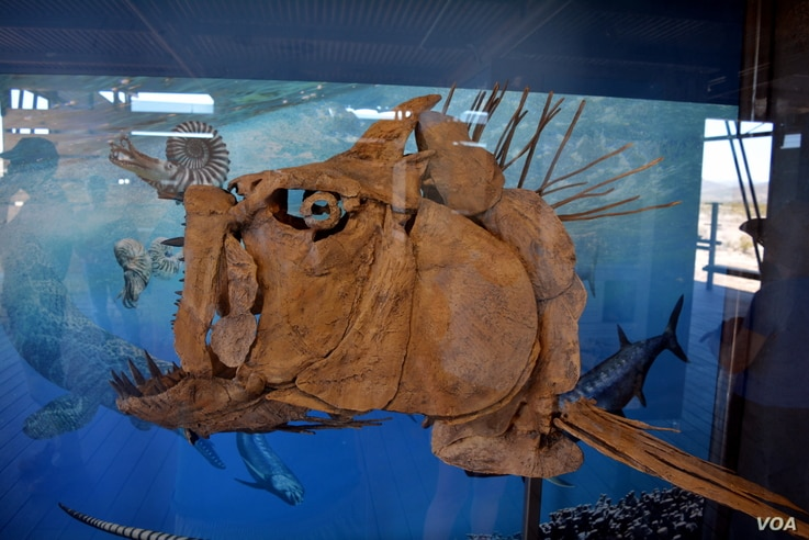 The head of a Xiphactinus, a large marine predator from the Late Cretaceous, is one of the fossils on display at a newly opened exhibit at Big Bend National Park. The desert was once a shallow ocean.
