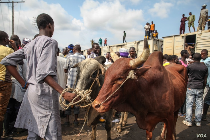 Cattle are pictured after being offloaded from a train at the Oko-Oba abattoir in Lagos, Nigeria, Sept. 3, 2016. (C. Stein/VOA)