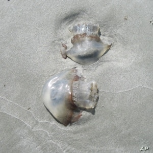 Cannonball jellyfish wash up on the beaches of St. Simons Island, Georgia.