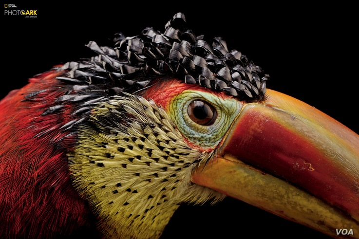 Curl-crested aracari (Pteroglossus beauharnaesii) at the Dallas World Aquarium, Texas (© Photo by Joel Satore/National Geographic Photo Ark)