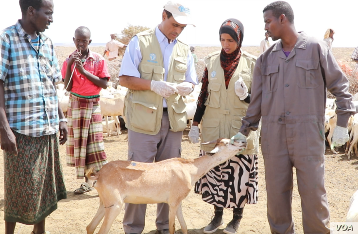 FAO veterinarian team members meet with pastoralists in the field to save the remaining animals, near Bandar Beyla, Puntland, Somalia, March 2017. (N. Wadekar/VOA)