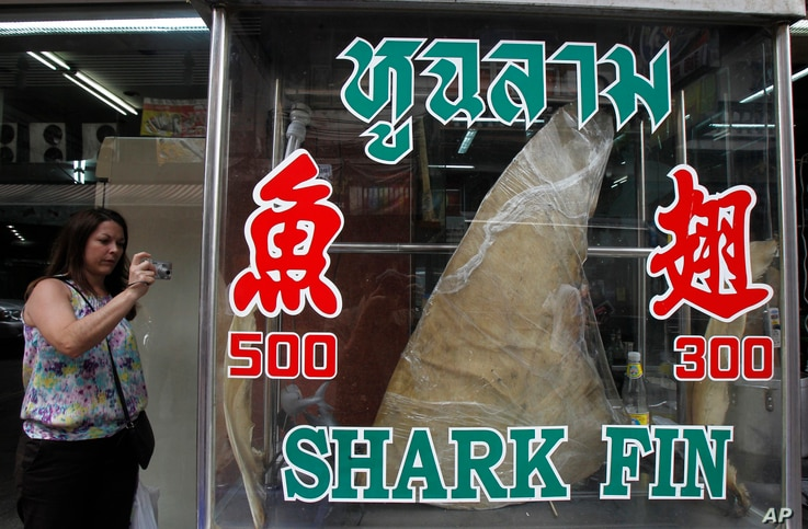 A woman takes a photograph of a dried shark fin on display at a restaurant in Bangkok, Thailand, Mar. 5, 2013.
