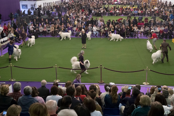 Great Pyrenees compete for best in breed during the 141st Westminster Kennel Club Dog Show, Feb. 14, 2017, in New York.
