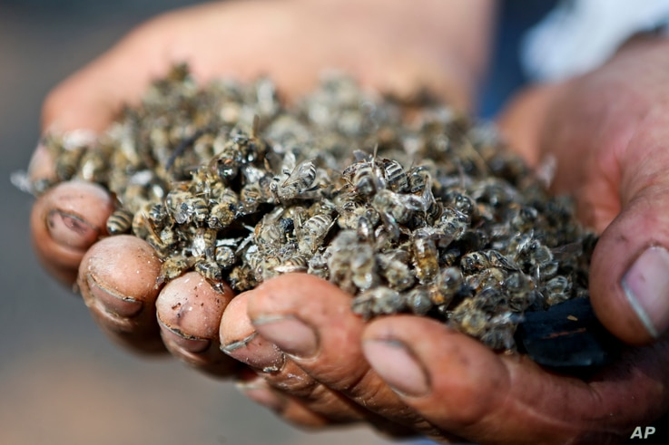 Eliazar Enriquez holds dead bees at his apiary in Chile's Quebrada del Maule community, Feb. 1, 2017. About 63 million bees died in the area and some 240 million bees are at high risk after recent wildfires, said forestry engineer and beekeeper consu...
