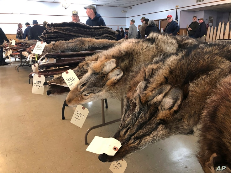 Coyote pelts for sale line tables at a trappers' auction in Herkimer, N.Y., Feb. 2, 2019. Coyote pelts are in big demand to provide the lush, silvery or tawny-tinged arcs of fur on the hoods on Canada Goose coats and their many global imitators.