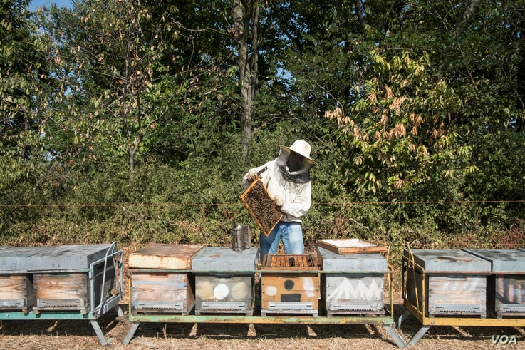 Ismael Soumarhoro works with bees in Tassarolo, Italy, Aug. 22, 2017. Soumahoro, originally from Guinea in West Africa, was trained in beekeeping by Italian NGO Bee My Job.