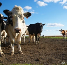 One researcher calculates that cows from two large dairies could fuel all  public buses in a medium-sized American city.