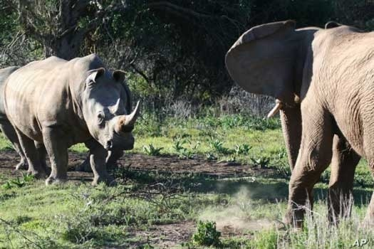A black rhino and an elephant face each other on a South African game park … The black rhino is well known for being extremely aggressive