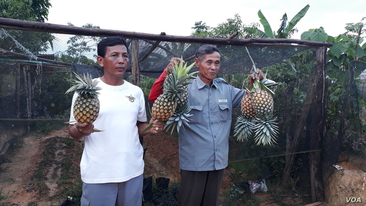 Farmers in South Konawe showing off pineapples harvested from their land.
