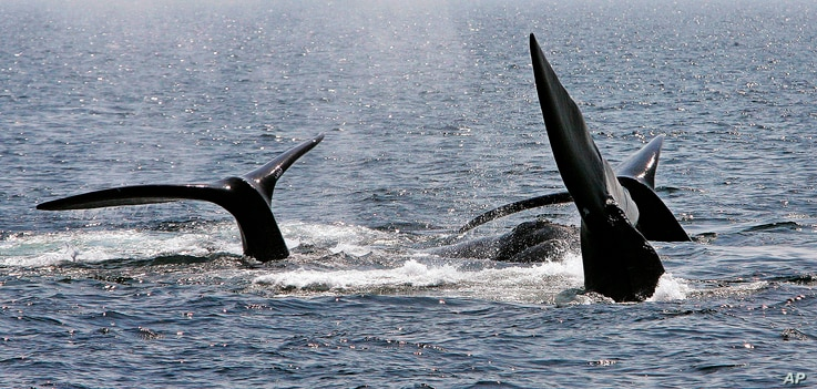 FILE - A ballet of three North Atlantic right whale tails break the surface off Provincetown, Mass., in Cape Cod Bay, April 10, 2008.
