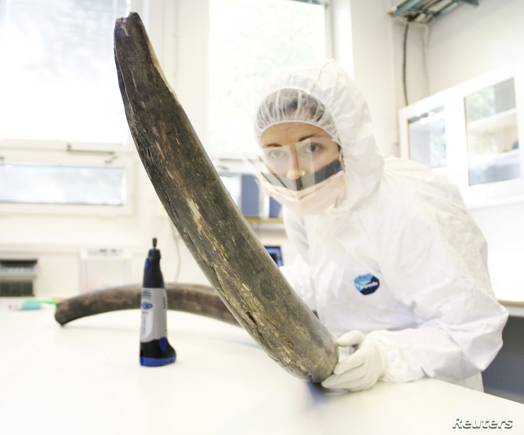 Eleftheria Palkopoulou works with a mammoth tusk in the ancient DNA lab at the Swedish Museum of Natural History in this image released to Reuters, April 22, 2015. (Handout / Love Dalen)