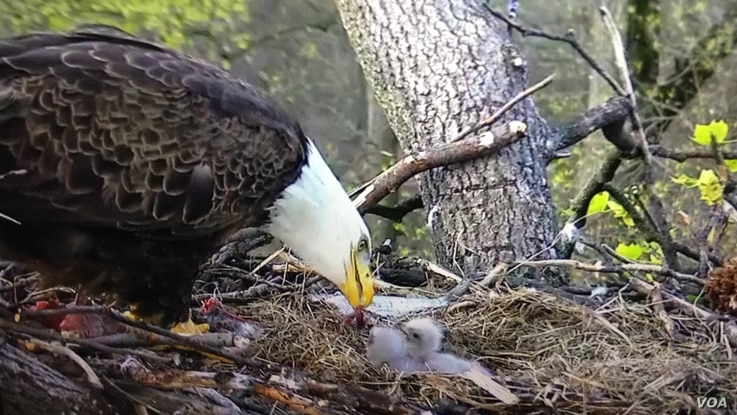 A bald eagle with its young at the National Arboretum in Washington, March 2016. (Credit: National Eagle Foundation)