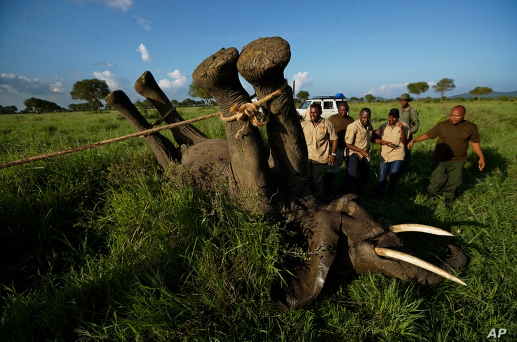 A team of wildlife veterinarians use a 4x4 vehicle and a rope to turn over a tranquilized elephant in order to attach a GPS tracking collar and remove the tranquilizer dart, in Mikumi National Park, Tanzania, March 21, 2018.
