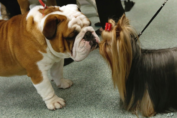 Daily, a bulldog, and Seguin, a Yorkshire terrier, meet nose to nose as the American Kennel Club's rankings were announced in New York, March 21, 2017. Bulldogs were the fourth most popular dog in 2016, while Yorkies ranked ninth.