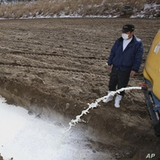 A farmer drains milk into a pit in Iitate, northeastern Japan.