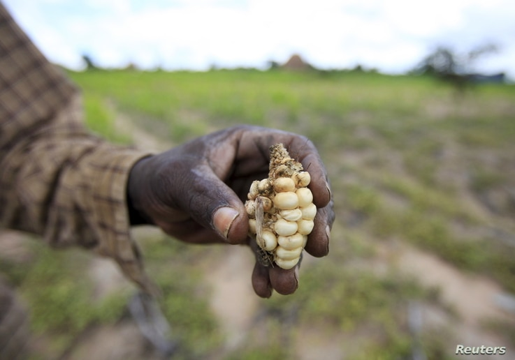 A Zimbabwean subsistence farmer holds a stunted maize cob in his field outside Harare, January 20, 2016.