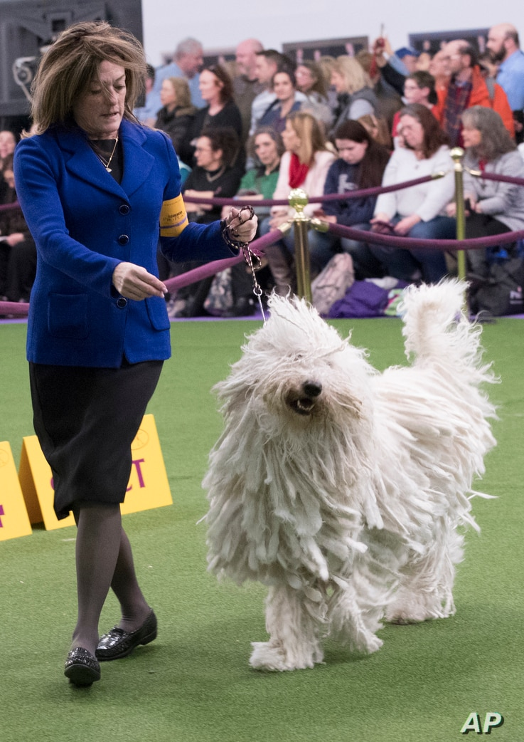 Nina Fetter present Betty Boop, a Komondor, in the ring during the 141st Westminster Kennel Club Dog Show, Feb. 14, 2017, in New York.