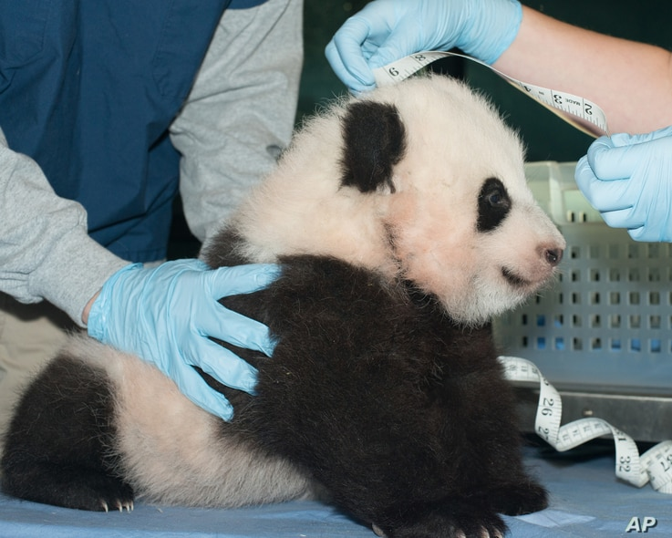 In this Nov. 29, 2013 photo provided by the Smithsonian National Zoo, a giant panda cub is measured as it is about to turn 100 days old, at the Smithsonian National Zoo in Washington.