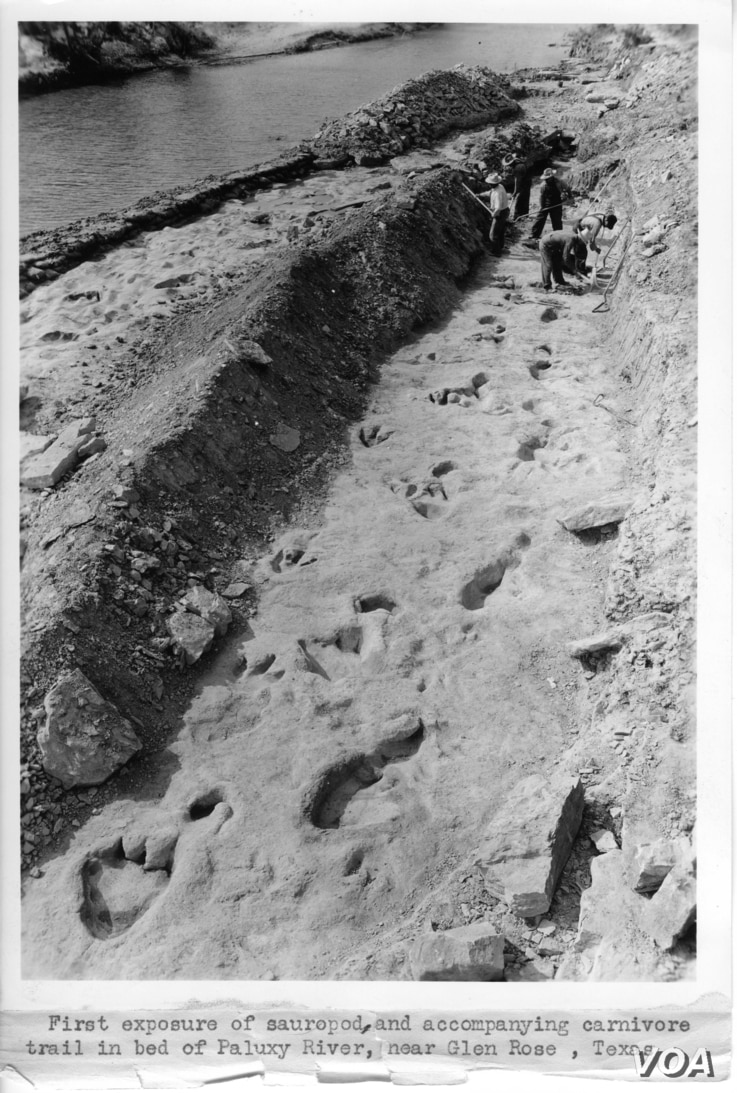 Footprints in the mud from more than 100 million are the tracks of the three-toed theropod (left) and the broader foot sauropod (right) in bed of Paluxy River, Texas Credit: