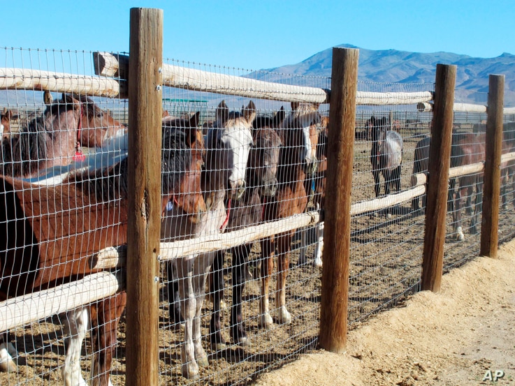 Wild Horses Contraception Or Roundups