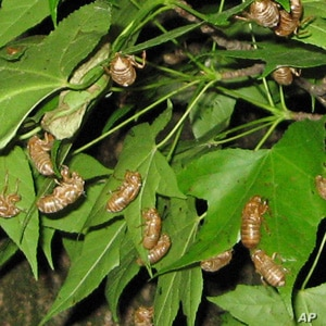 The nymphs climb up a bush or tree to molt during the night leaving their brown casings behind.